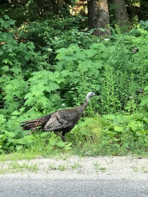 turkeys on lac claire road
