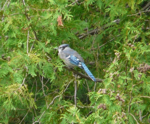 Bluejay:fall