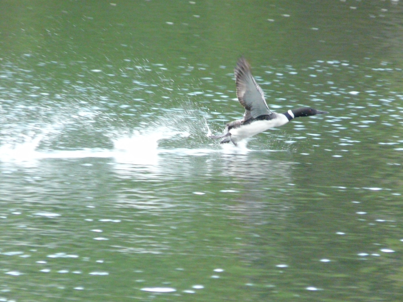 Loon taking off :fall or spring:summer